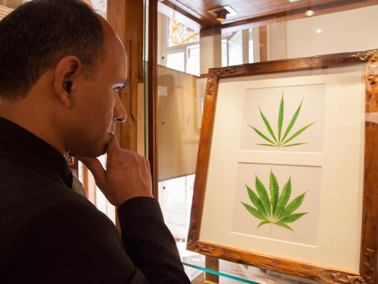 A visitor learning about the difference between Cannabis Sativa and Indica
