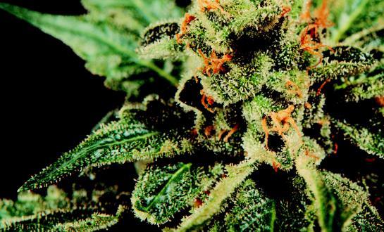 G13 x Hash Plant Mr Nice