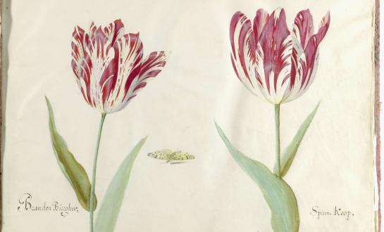 Twee tulpen, Jacob Marrel, 1637